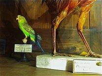 Perruche et pattes de faisan doré, naturalisations