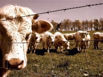 Jolie vache mélancolique devant d'autres, toutes derrière du fil de fer barbelé